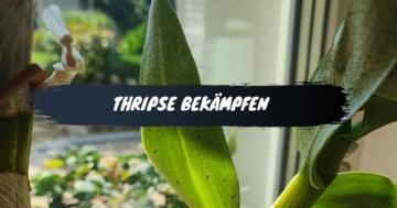 Thripse bekämpfen